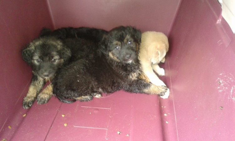 Left to die in a field - rescued by Hope for Romanian Strays