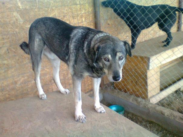 Griutu 2. An old, quiet boy who will not survive on the streets - we need to find him an urgent retirement home - old dogs deserve a chance too and certainly do not deserve to die in pain on the streets. Help us find him a home