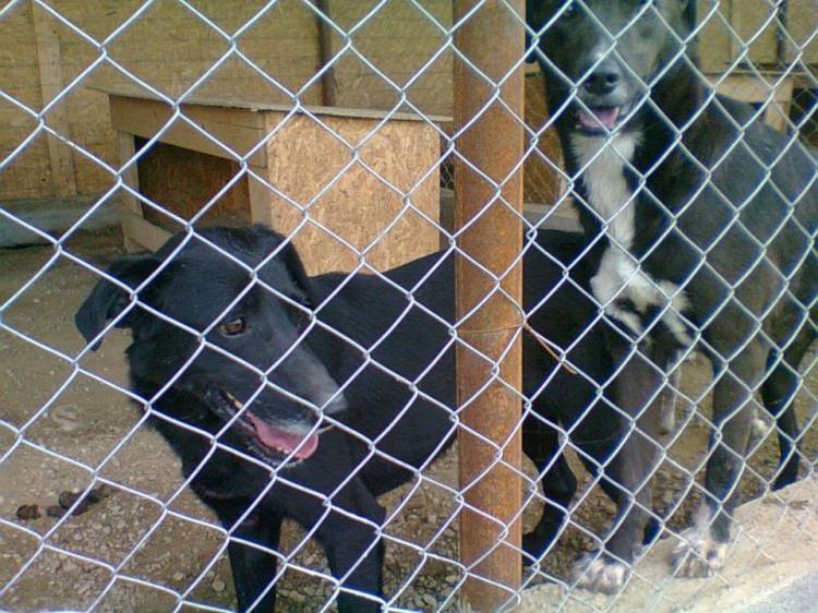 Lea - dog on the left - very sweet 3 year old castrated lady. Lovely and not aggressive.